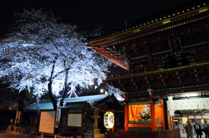 仕事帰りの方が夜桜を見に来てました